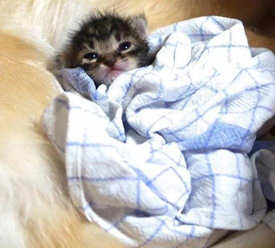 Котенок и ретривер