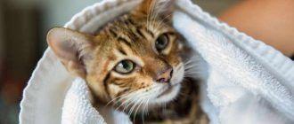 Кошка после мытья