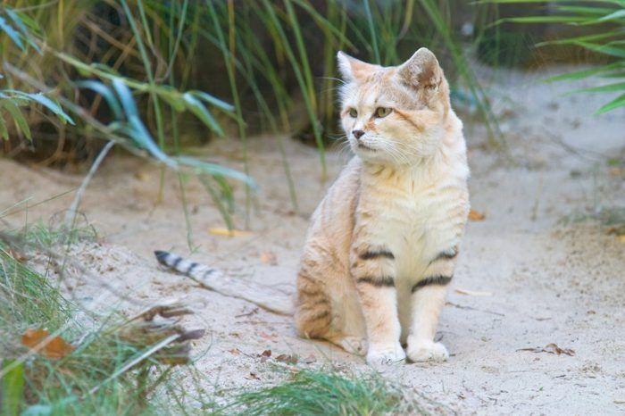 Felis margarita thinobia