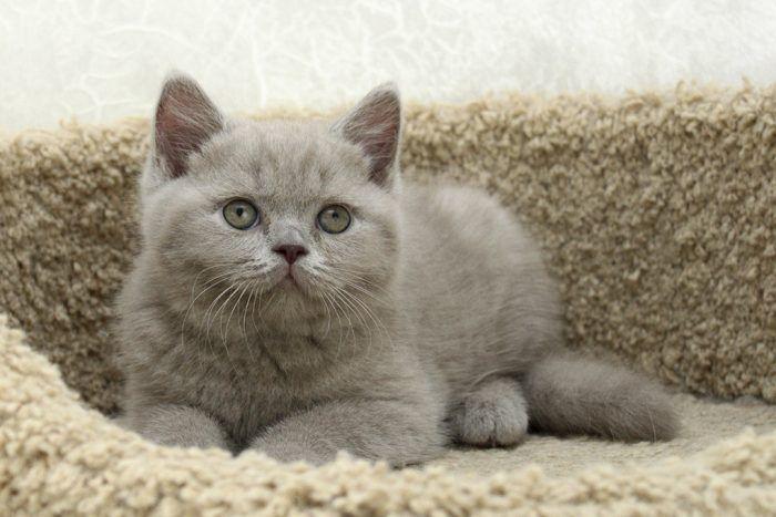 Британский лиловый котик