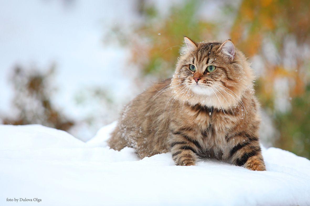 вкус аромат лесная сибирская кошка фото тунцом