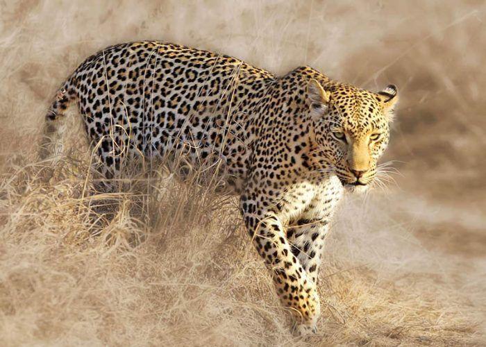 Panthera pardus pardus