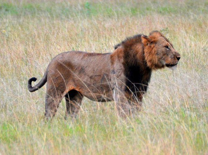 Panthera leo azandica