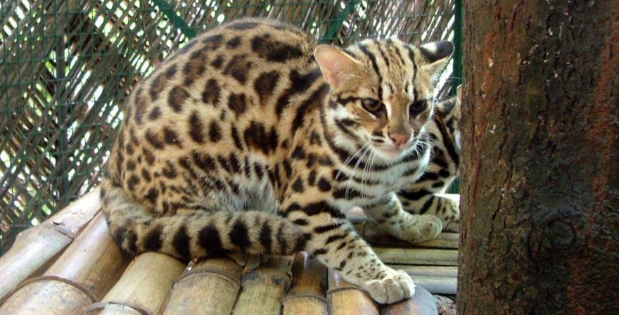Бенгальский дикий кот