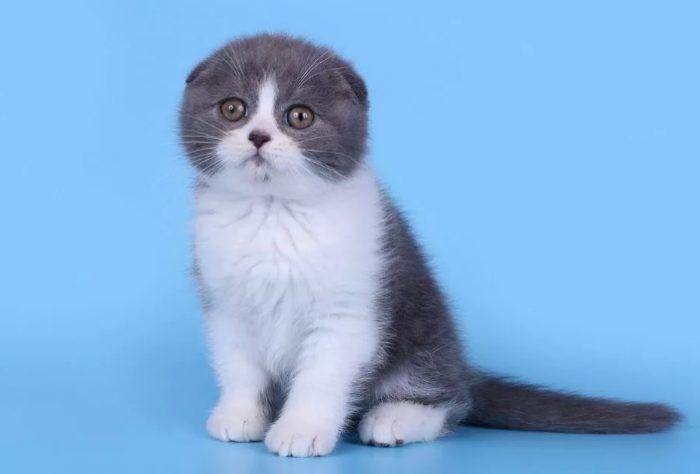 Биколор котенок