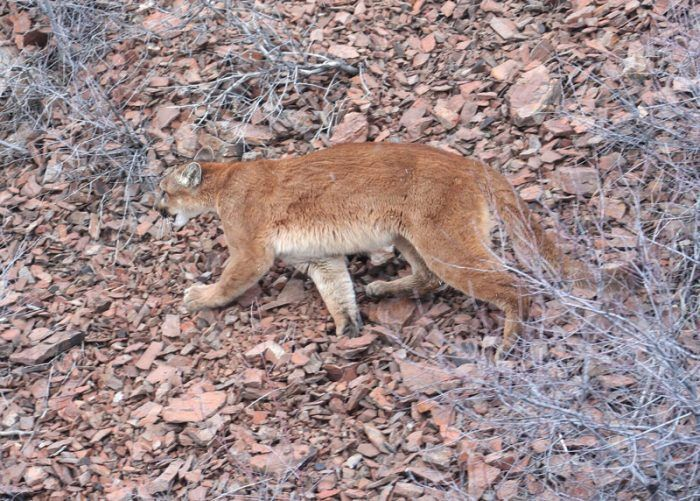 Puma concolor californica