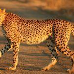 Гепард в неволе