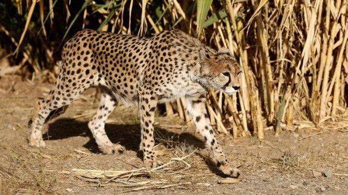 Гепард гуляет