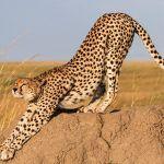 Гепард потягивается