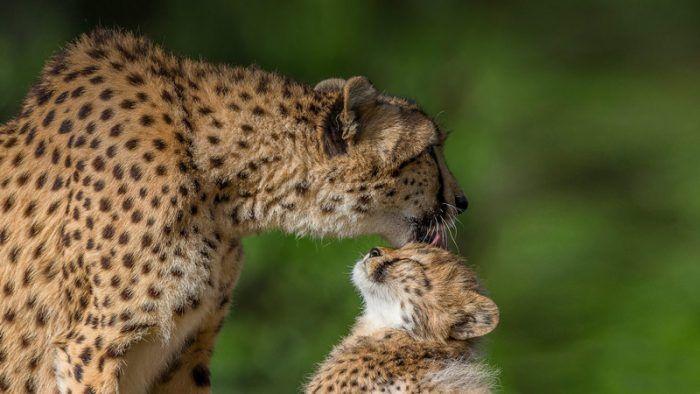 Мать лижет детеныша