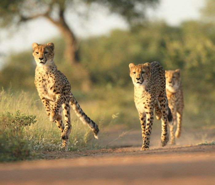Гепарды на прогулке