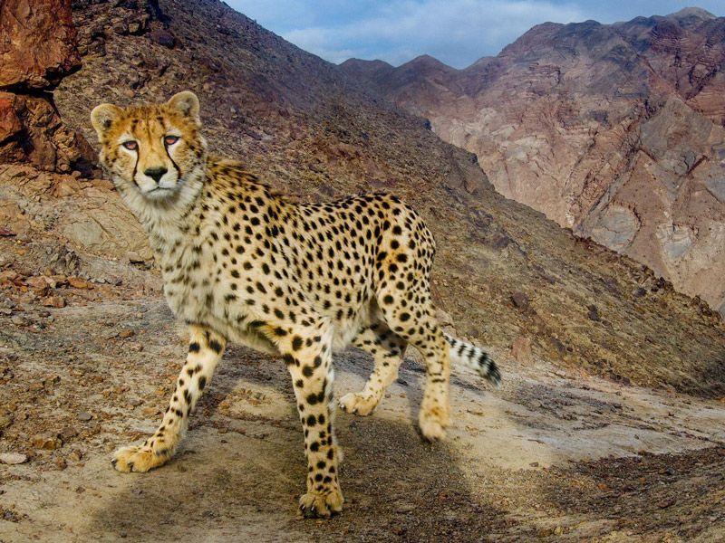 Гепард в горах