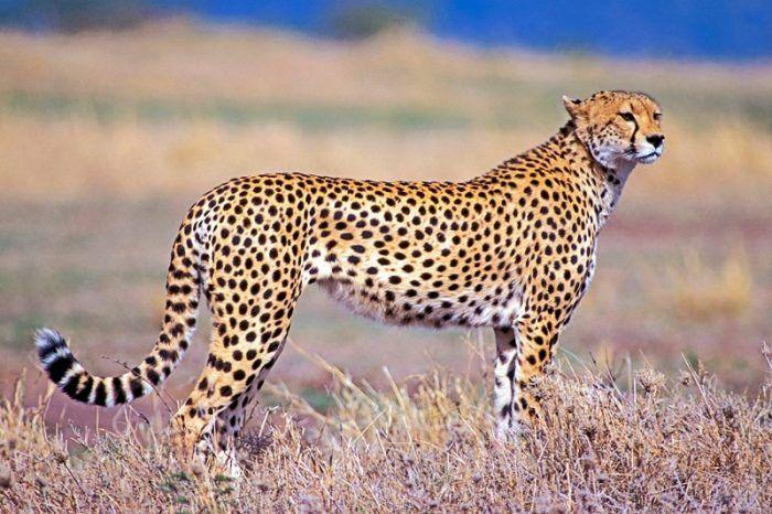 Гепард в степи