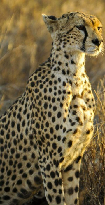 Величественный гепард