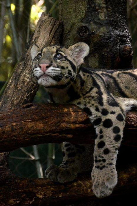 Дымчатый леопард на ветке
