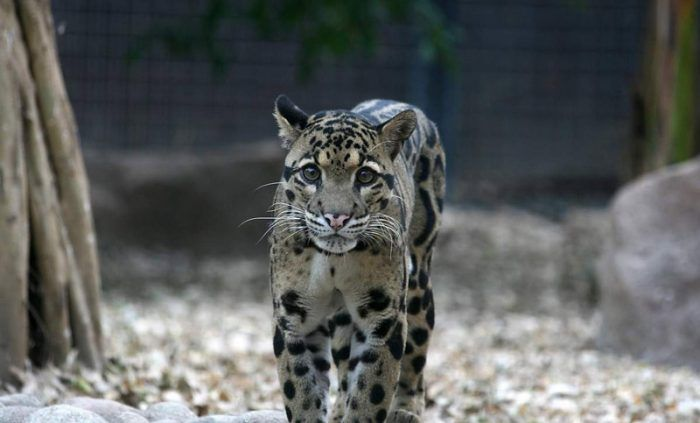 Леопард в неволе