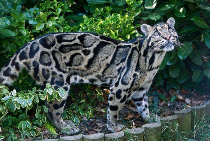 Пятнистый дымчатый леопард