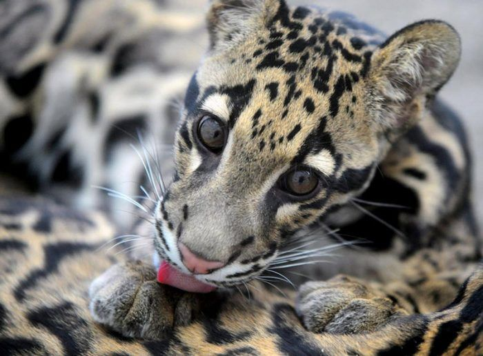Котенок леопарда вылизывается