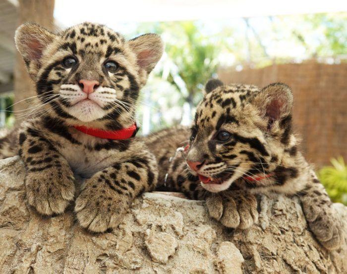 Два детеныша дымчатого леопарда