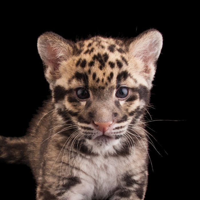 Леопарденок