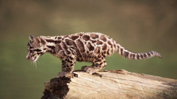 Котенок леопарда готовится к прыжку