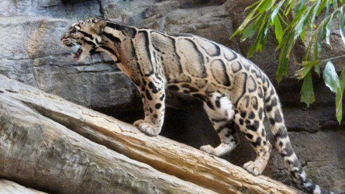 Леопард дымчатый на бревне