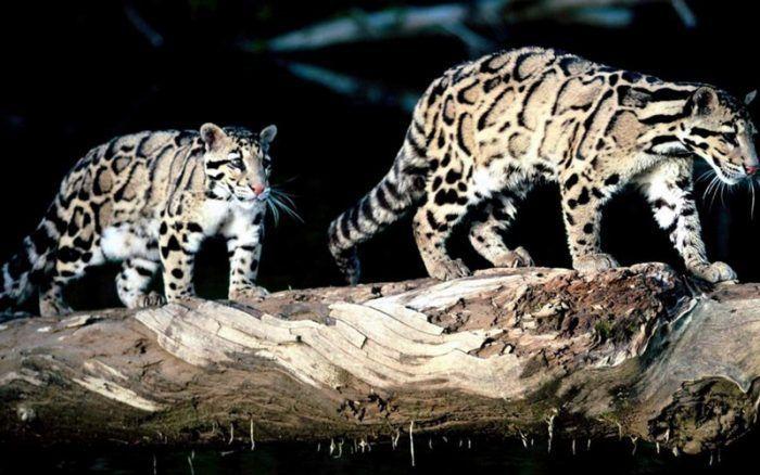 Два дымчатых леопарда