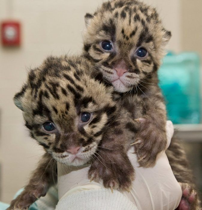 Детеныши дымчатого леопарда