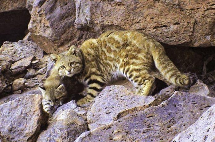 Как выглядит Пампасская кошка