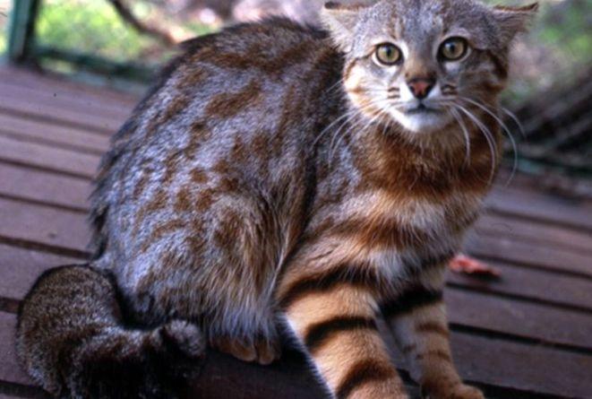 Полосатая Пампасская кошка