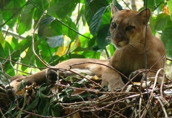 Коста-риканская Пума