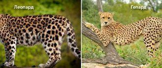 Два зверя Гепард и Леопард
