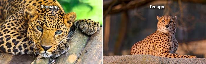 Отличия Гепард и Леопард