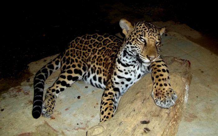 Panthera onca hernandesii