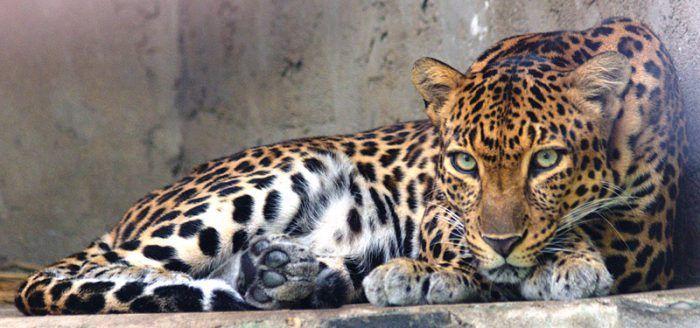 Panthera pardus delacouri