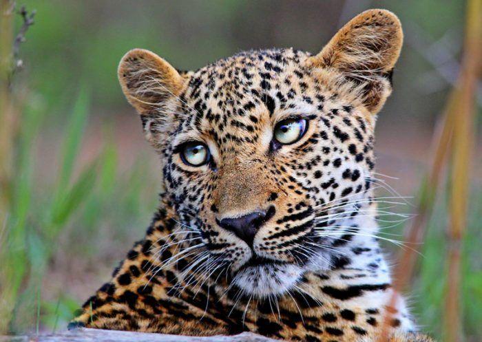 Ягуар недоволен