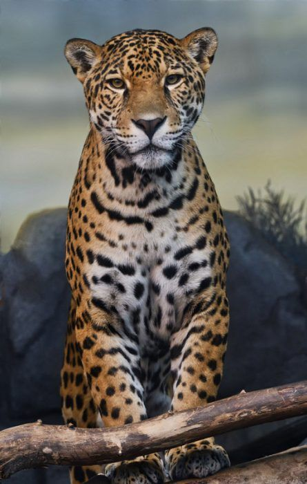 Красивый Ягуар