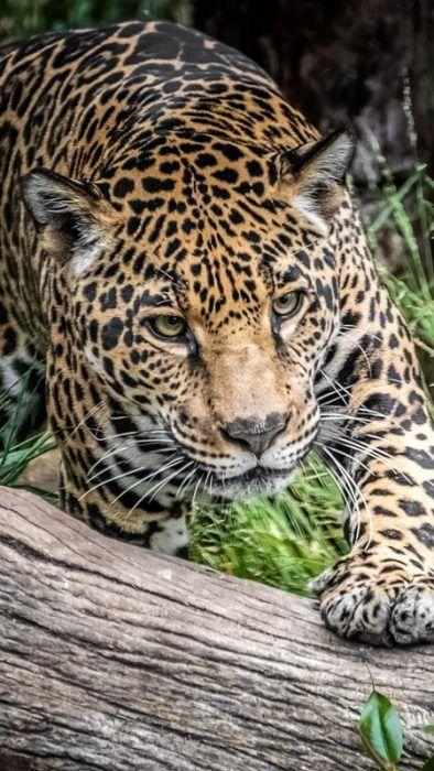 Ягуар гуляет