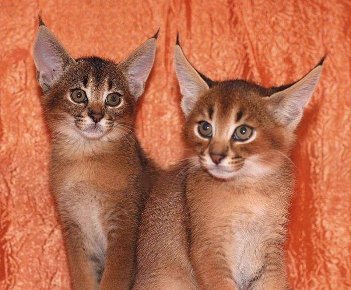 Два котенка Каракета