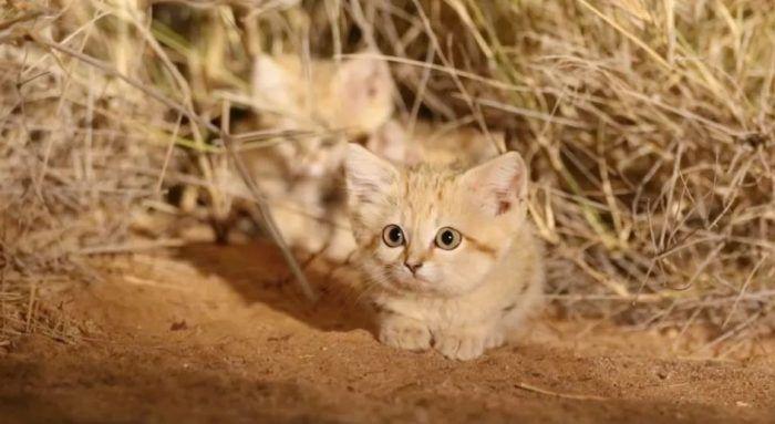 Котята барханной кошки