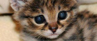 Котенок черноногой кошки