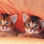 Красноватые котята