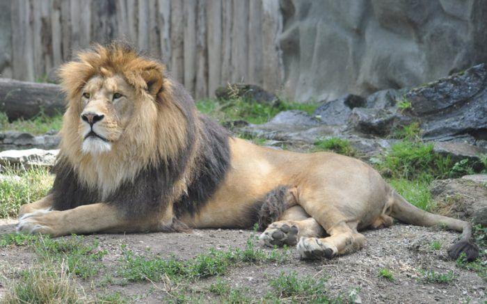 Panthera leo leo