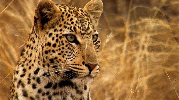 Леопард на воле