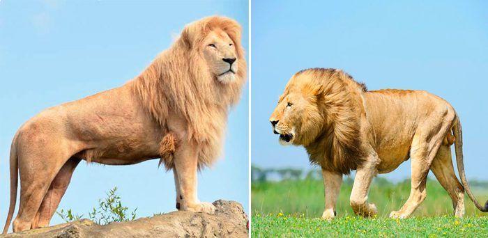 Размер львов