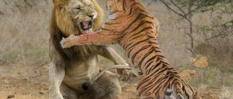 Борьба льва и тигра