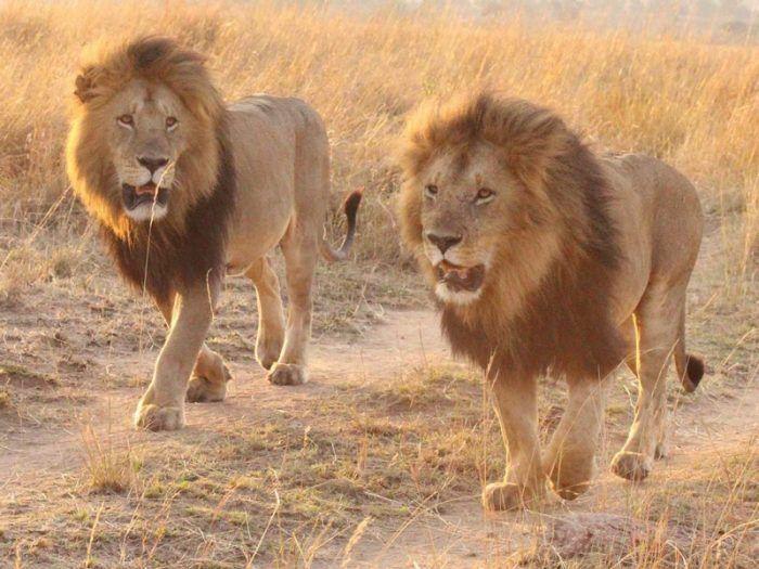 Два Льва гуляют в пустыне