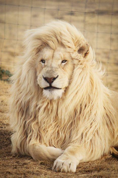Гривастый Лев