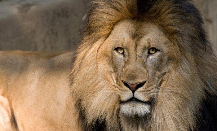 Большая морда у Льва