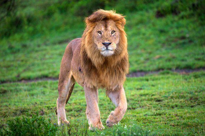 Лев в поле